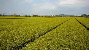 Yearly Tea Plantation Visist