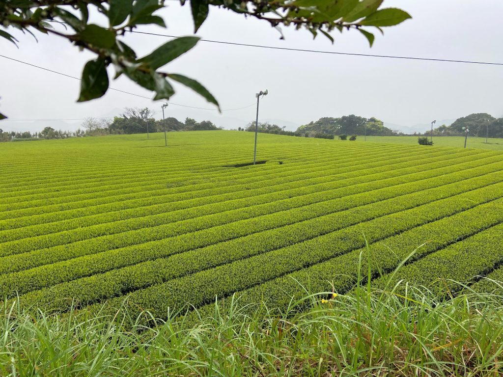Tea Farms Tour